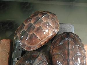 出售石金钱龟,个头在2-2.5斤左右,可食用,