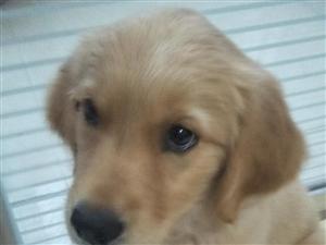 出售2个半月金毛找个爱狗人士