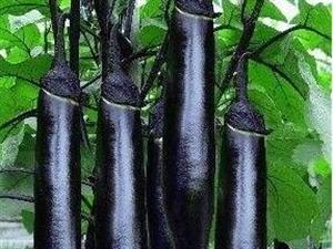 清远嫁接茄子苗基地 代育茄子育苗厂