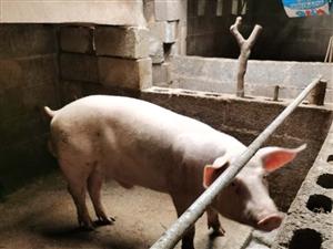 配种公猪转手