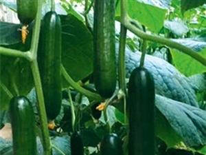 北京小黄瓜种苗厂品种 全雌型黄瓜苗