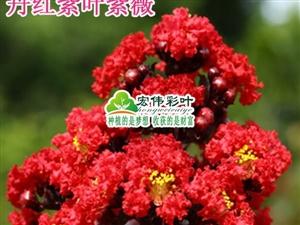 江西宏伟彩叶苗圃种**引进的紫薇丹红紫叶紫薇