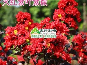 火红紫叶紫薇  当年夏季开花