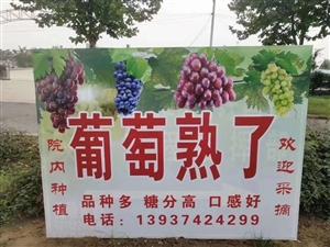 自家纯天然无公害葡萄熟了,欢迎采购