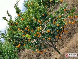 建水面甸蜜桔40噸已經成熟,有意者可聯系