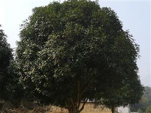 长阳谢先生出售300多棵直径大约14-16公分的桂花树!