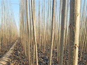 固始千畝精品楊樹苗;107楊樹苗供應