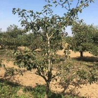 供3−−15公分山桃树 山杏树 苹果树 山楂树