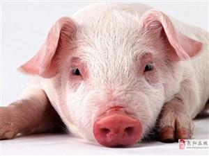纯粮食生猪出售