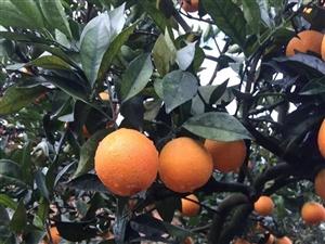上坪汤屋围有1万斤左右脐橙