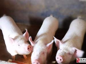长阳农户年猪出售
