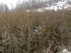 大量出售自家种植松树苗