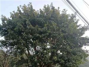 20年齡黃果樹出售,有需要的綠化公司聯系