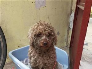 5月8日捡到小狗一只,流浪狗身上比较脏,比熊或泰迪吧?看看是谁的?现在我家
