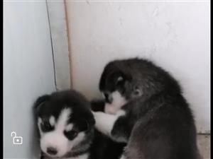 自家哈士奇纯种幼犬便宜出售