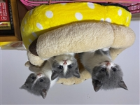 自家繁育英短猫
