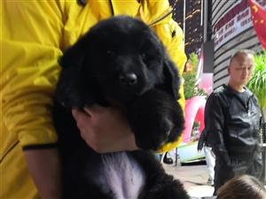 纽芬兰幼犬