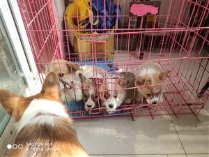 出售柯基幼犬