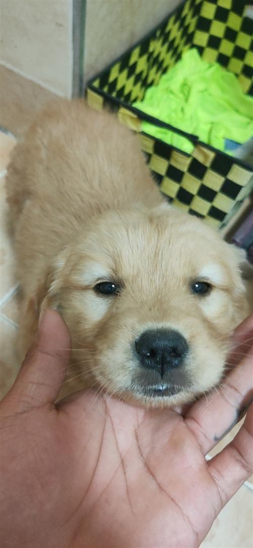 出售金毛幼犬两个多月大,母的,疫苗什么的都打着呢,价格公道,狗粮,狗链,狗狗沐浴露都是新没用过全部送...