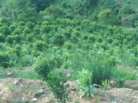 本人有3000棵沙塘橘子  种植已经有4年了   想租出去   有意者联系号码18669007357...
