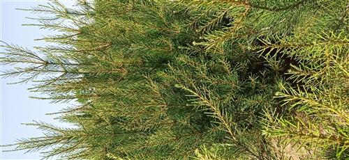 大田定值2米多白皮松,在陕西蓝田,树形好交通方便,我们这的树都是卖给贩子,因为联系不到远处的客户,我...