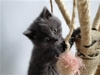 英短蓝猫宝宝出售,博兴县