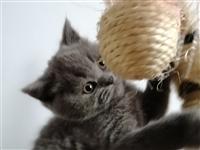英短蓝猫宝宝出售,博兴县城