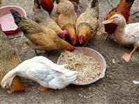 自家散养1-2年的土鸡,老母鸡,一直用米粒,稻谷,米糠散养,肉质细腻,鲜美