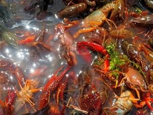 新蔡县西湾湖小龙虾养殖基地