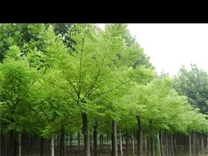 國槐樹賤賣