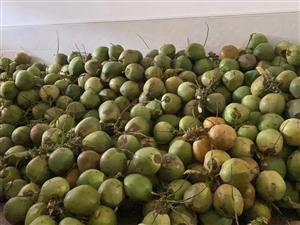 儋州椰子批发