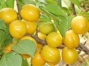 珍珠油杏熟了!可批发