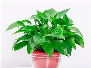 绿萝盆栽净化空气防辐射