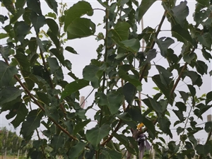 果园转让猕猴桃成品园珍珠油杏园