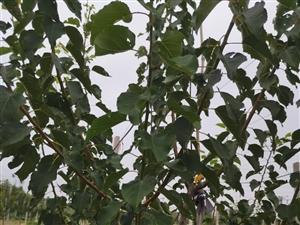 果园猕猴桃园珍珠油杏园转让
