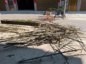 收購大量剛砍一個星期左右的楠竹子尖5元一根