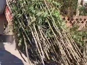 收購大量剛砍楠竹子尖