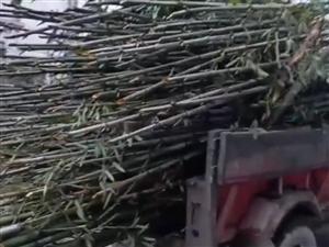 收購楠竹子尖