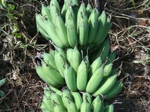 粉蕉果农,有需要加微信联系