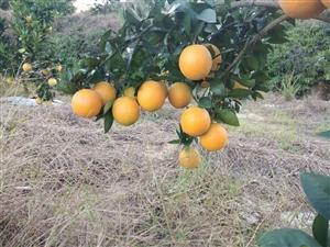 大量收购脐橙,果面靓、果头大,甜度高,