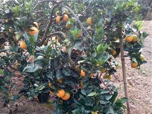 脐橙血橙出售