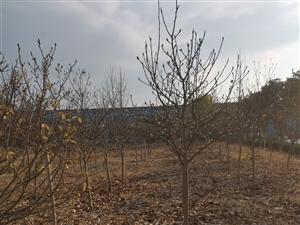 园林绿化树