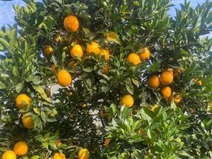 本人果山上有5000斤的脐橙,果很漂亮,甜度很高