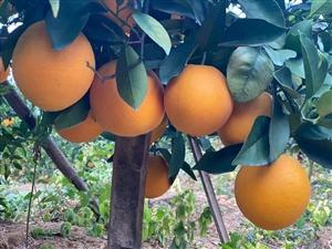 本人有5万多斤脐橙出售