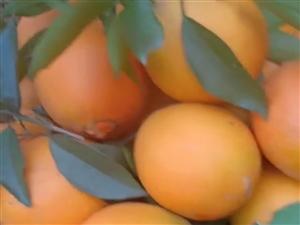 靓橙5万多斤待出售