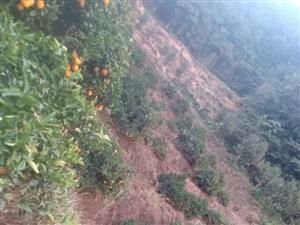 有5万多斤脐橙出售 果皮靓 果头均匀 无一黄龙病