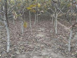 紧急出售大量核桃树,桃树,杏树,柿子树,银杏树