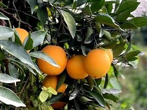 超靓超甜脐橙出售