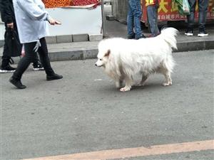 一条豪横的犬