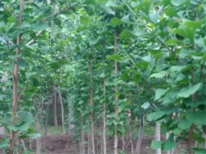 银杏树苗出售